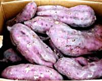 旬の有機サツマイモ